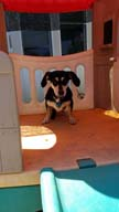 Doxie in Playhouse